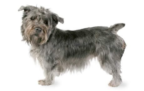 Image result for glen of imaal terrier