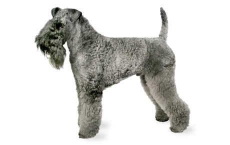 Image result for Kerry Blue Terrier