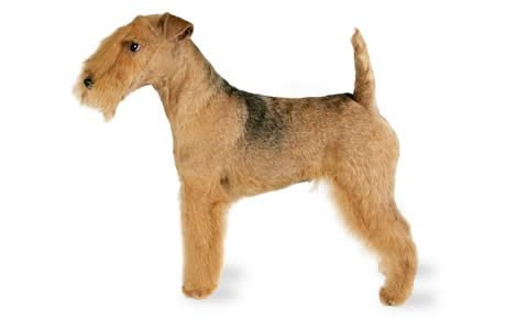 Lakeland Terrier Dog Breed Information, Pictures ...
