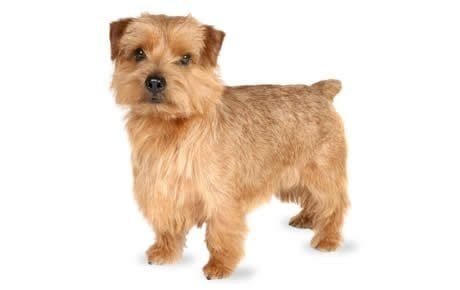 Traits of a wire haired terrier