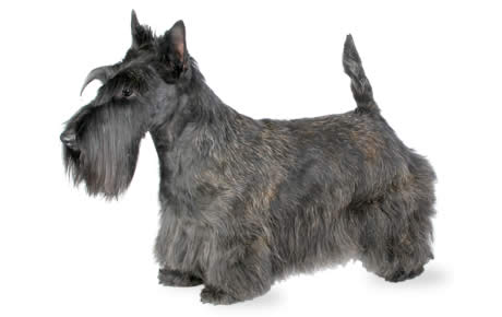 Scottish Terrier Dog Breed Information Pictures
