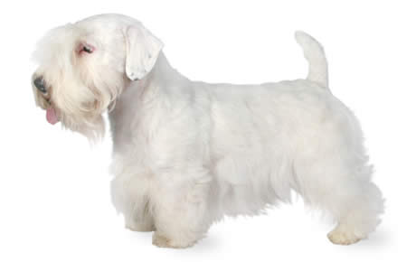 Sealyham Terrier Dog Breed Information Pictures Characteristics Facts Dogtime