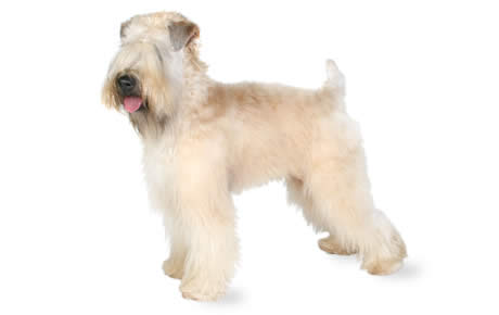 Soft Coated Wheaten Terrier Dog Breed Information ...