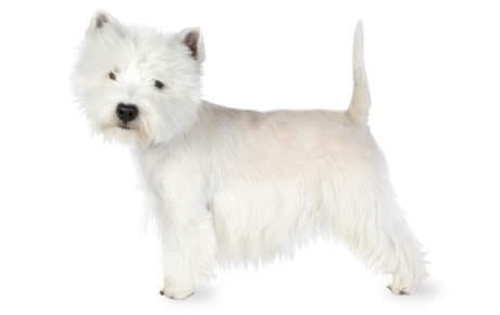 What is a terrier bred for