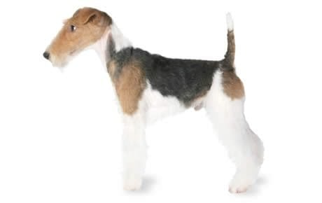 Brown and white fox terrier
