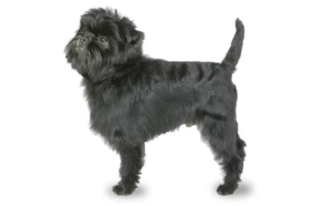 Affenpinscher Dog Breed Information Pictures