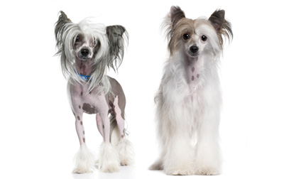 Chinese Crested Dog Breed Information Pictures