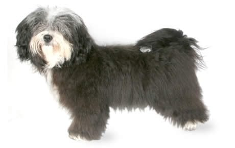 Havanese Dog Breed Information, Pictures, Characteristics