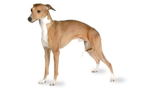Image result for Italian Greyhound