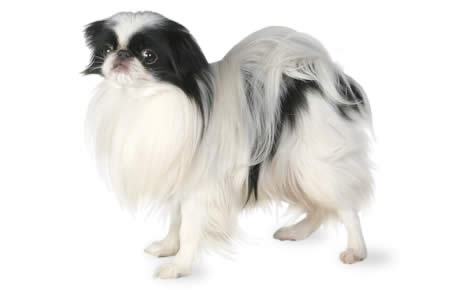 Japanese Chin Dog Breed Information Pictures Characteristics