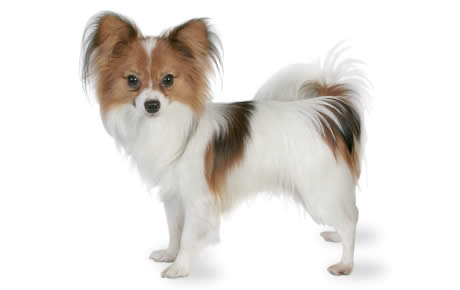 Papillon Dog Breed Information Pictures Characteristics