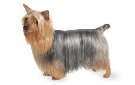 Name of a large breed of yorkshire terrier