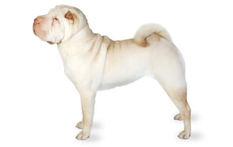 Chinese Shar Pei Dog Breed Information Pictures Characteristics Amp Facts Dogtime