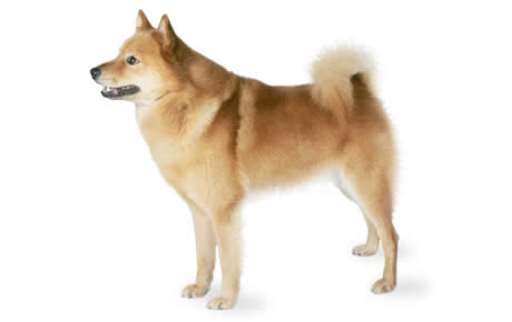 Cool German Spitz Canine Adorable Dog - file_23148_finnish-spitz  HD_292085  .jpg