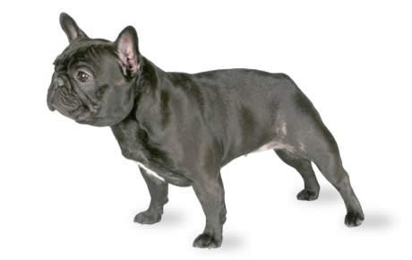 file_23150_french-bulldog