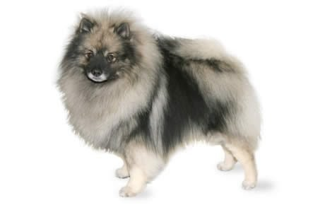 Keeshond Dog Breed Information, Pictures, Characteristics & Facts ...