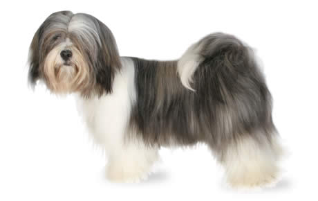 Lhasa Apso Dog Breed Information Pictures Characteristics Amp Facts Dogtime