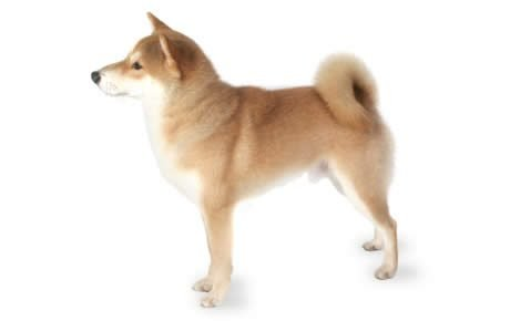 Shiba Inu Dog Breed Information, Pictures, Characteristics