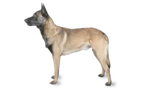 Belgian Malinois Dog Breed Information, Pictures, Characteristics
