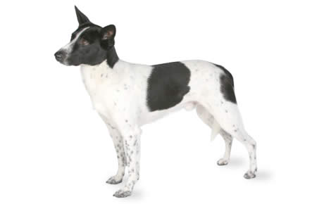 Canaan Dog Breed Information Pictures Characteristics