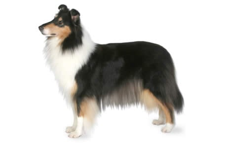 Collie Dog Breed Information, Pictures, Characteristics & Facts ...