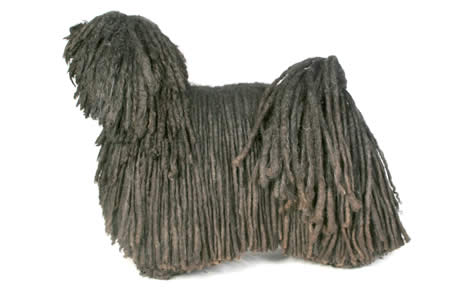 Puli Dog Breed Information Pictures Characteristics Facts Dogtime
