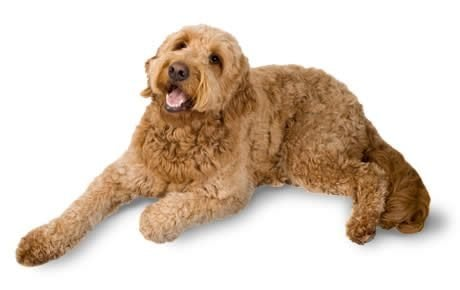 Goldendoodle Dog Breed Information, Pictures, Characteristics