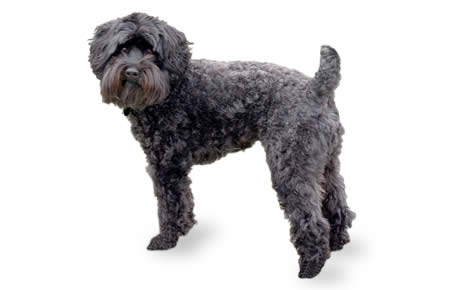 Schnoodle Dog Breed Information Pictures Characteristics