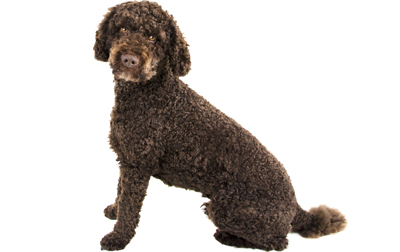 Labradoodle Mixed Dog Breed Pictures Characteristics Facts