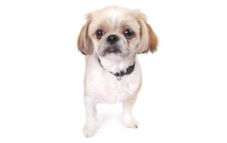 Peekapoo Dog Breed Information Pictures Characteristics Facts Dogtime