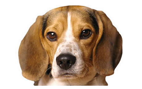 Pocket Beagle Dog Breed Information Pictures Characteristics
