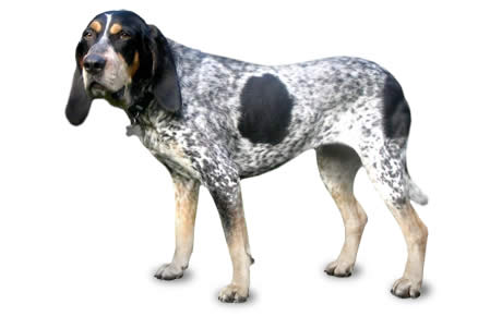 Bluetick Coonhound Dog Breed Information Pictures Characteristics