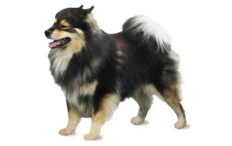 Finnish Lapphund Dog Breed Information Pictures Characteristics