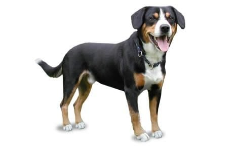 Entlebucher Mountain Dog Breed Information, Pictures ...
