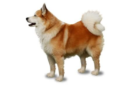 Image result for Icelandic Sheepdog