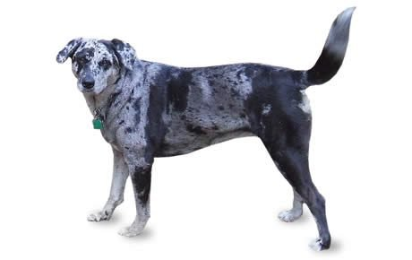 Catahoula Leopard Dog Breed Information, Pictures