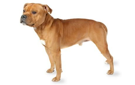 Staffordshire Bull Terrier Dog Breed Information Pictures