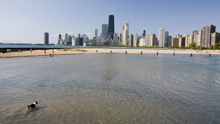 A dog walks in the water at a beach with the Chicago skyline in the background.