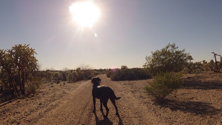 A dog stands on a dirt road in the desert and looks toward the setting sun.