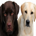 Retrieving Breeds