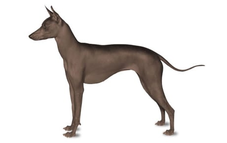 Xoloitzcuintli Dog Breed Information Pictures
