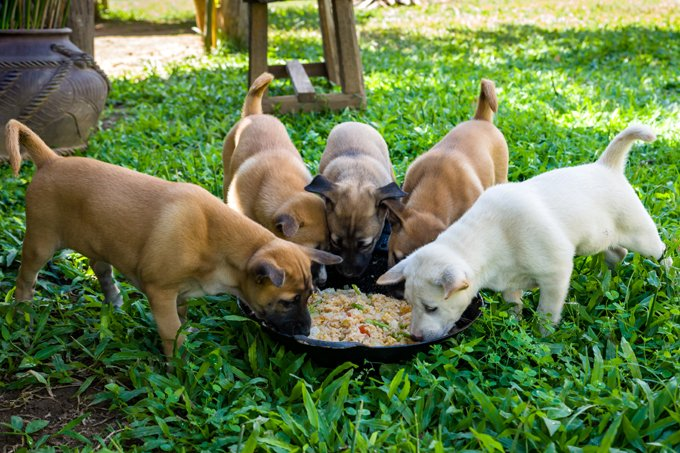 Five puppies eating rice from a bowl on the lawn, Thailand.