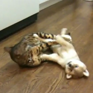 Cat and puppy at play