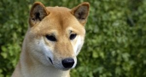 Biblical Canaan Dog breed endangered in native land