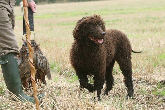 Irish Dogs Are Smiling For Saint Patrick's Day - Dogtime American Water Spaniel Dogtime