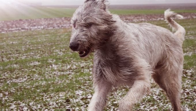 irish wolfhound runs through field