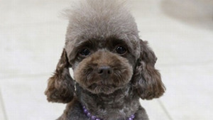 Toy Poodle is latest addition to Japanese police force