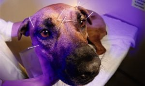 Alternative Medicine: Dog Acupuncture