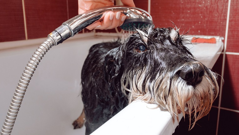 black dog schnauzer in bathroom take shower