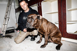 "Cane Corso dubbed Brooklyn's ""Ghost Dog"" finally rescued"